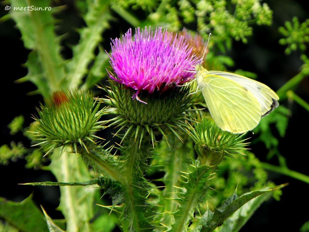 flori-roz-087-Carduus
