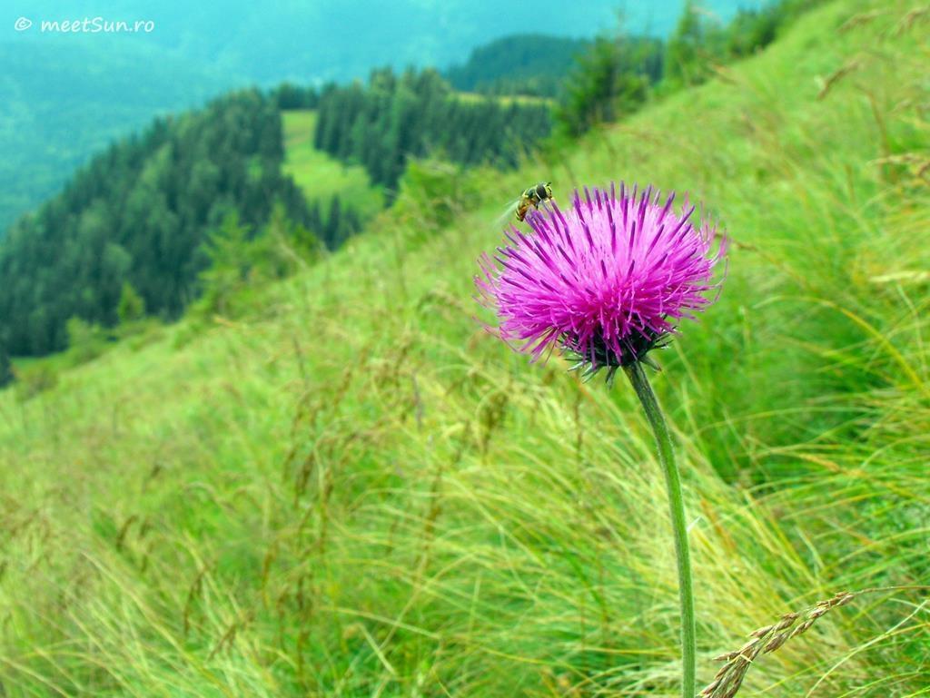 flori-roz-088-Carduus-kerneri