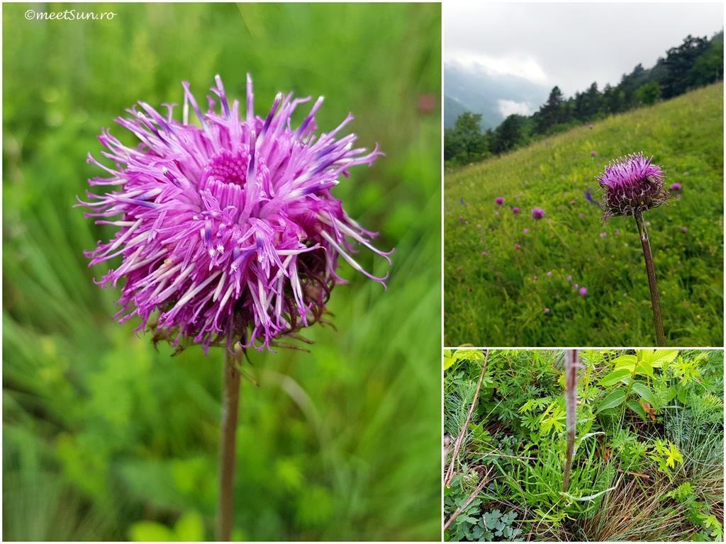 flori-roz-089-Jurinea-glycacantha