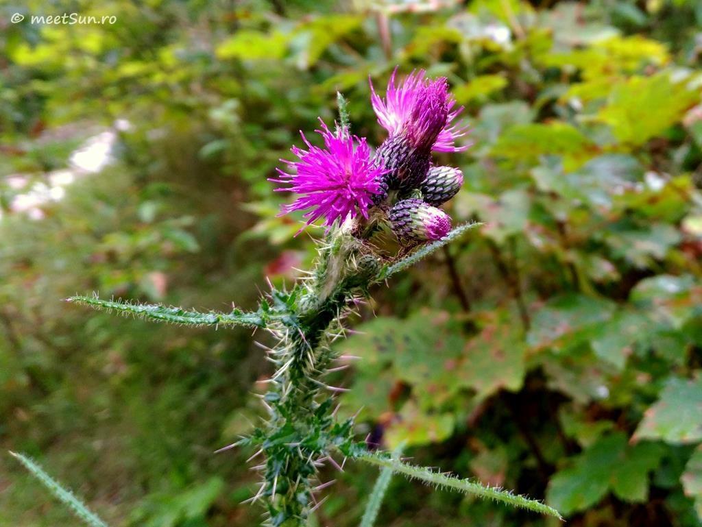 flori-roz-090-Cirsium