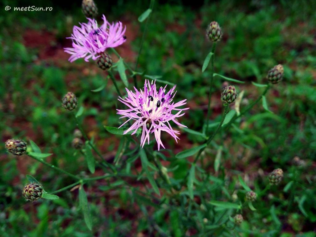flori-roz-092-Centaurea