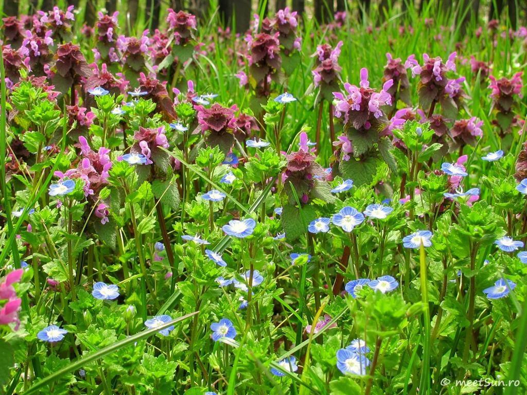 flori-roz-096-Lamium
