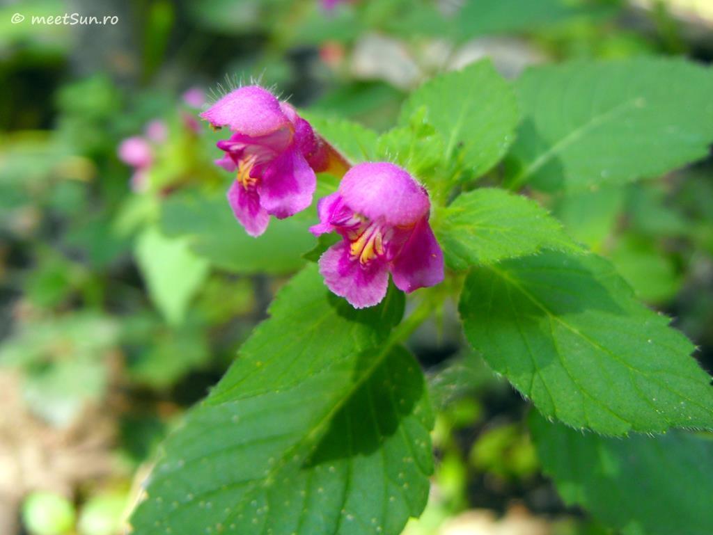 flori-roz-097