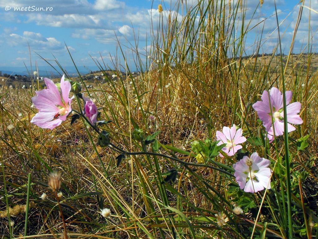 flori-roz-101-Lavatera
