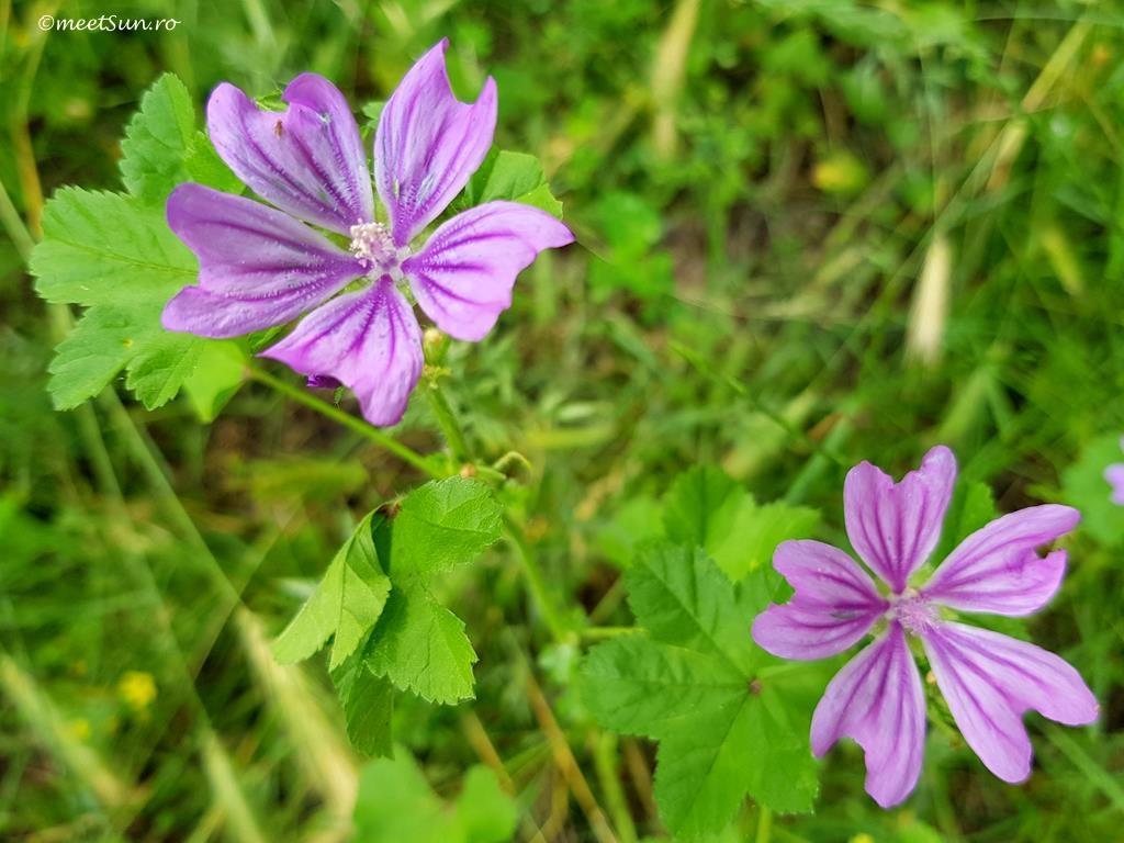 flori-roz-102-Malva