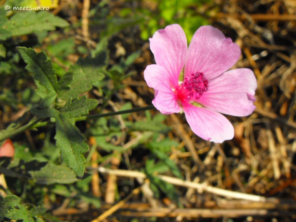flori-roz-103-Althaea