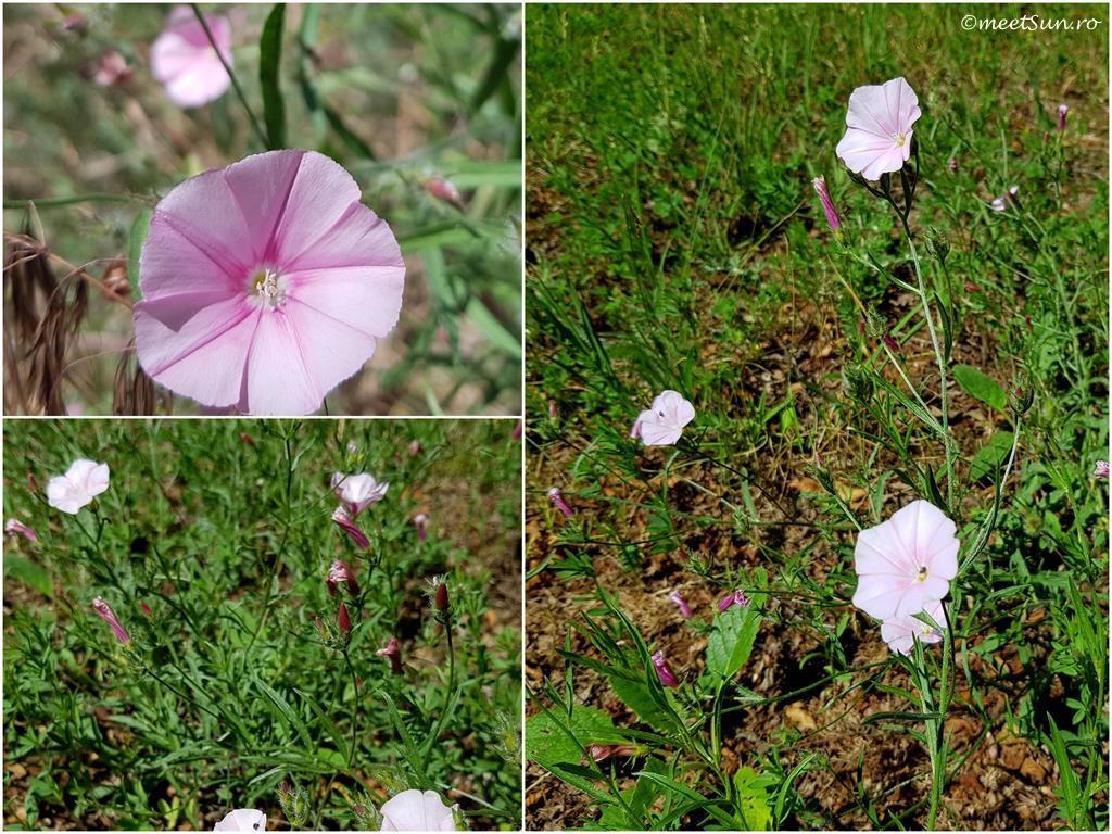 flori-roz-104-Convolvulus