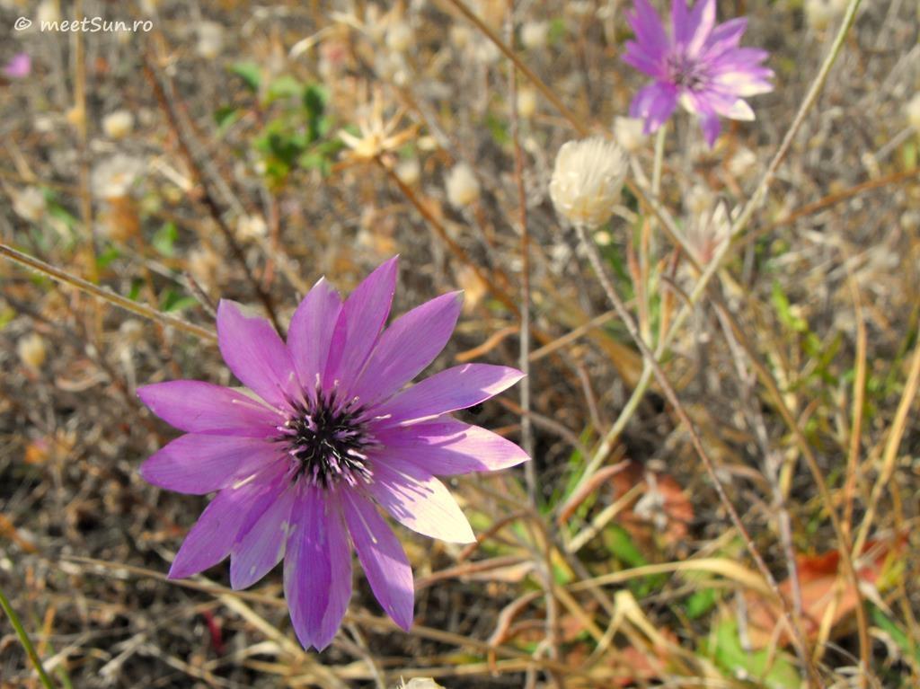 flori-roz-105-Xeranthemum