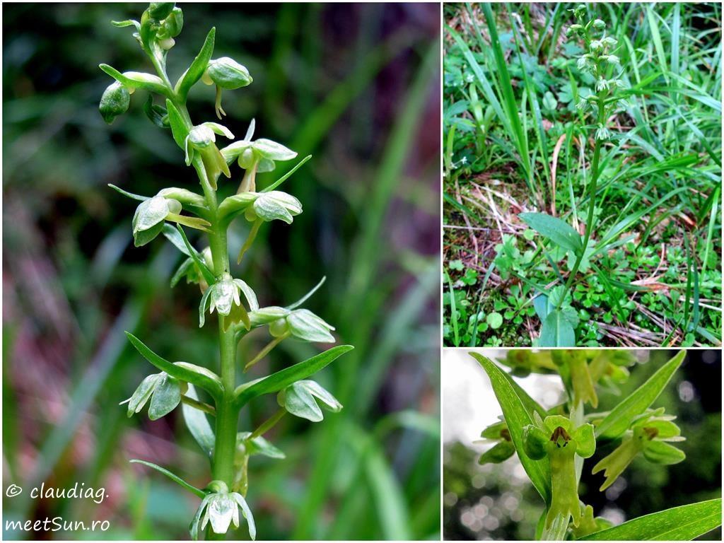 07-flori-verzi-orhidee