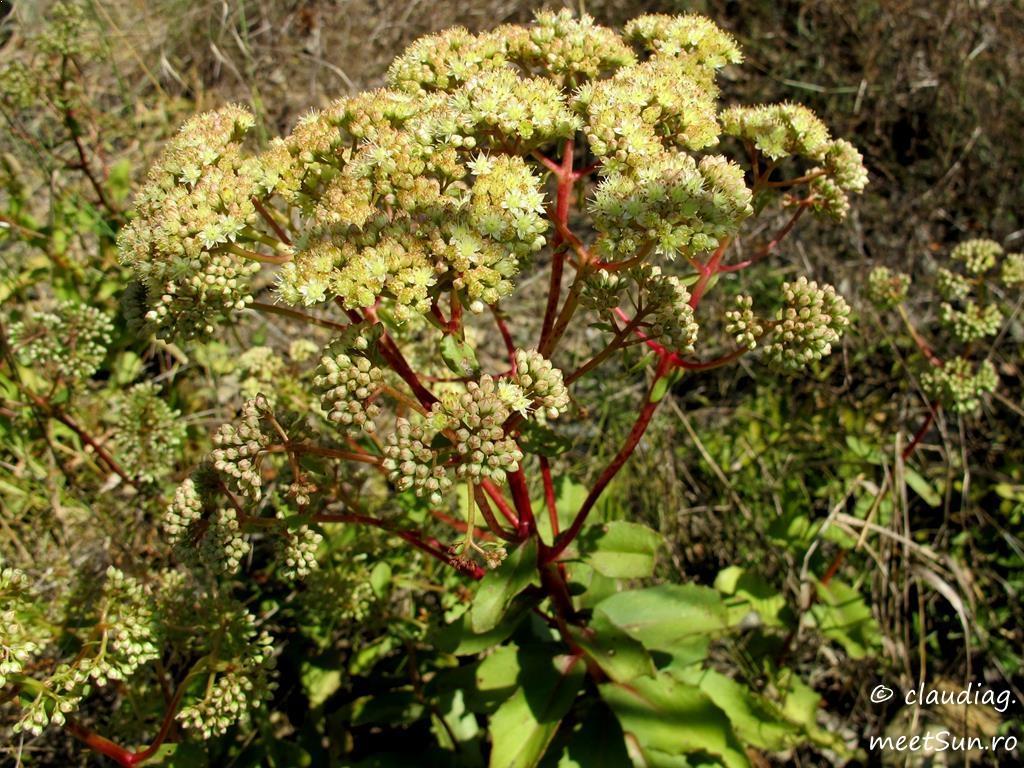 21.2-flori-verzi-iarba-grasa