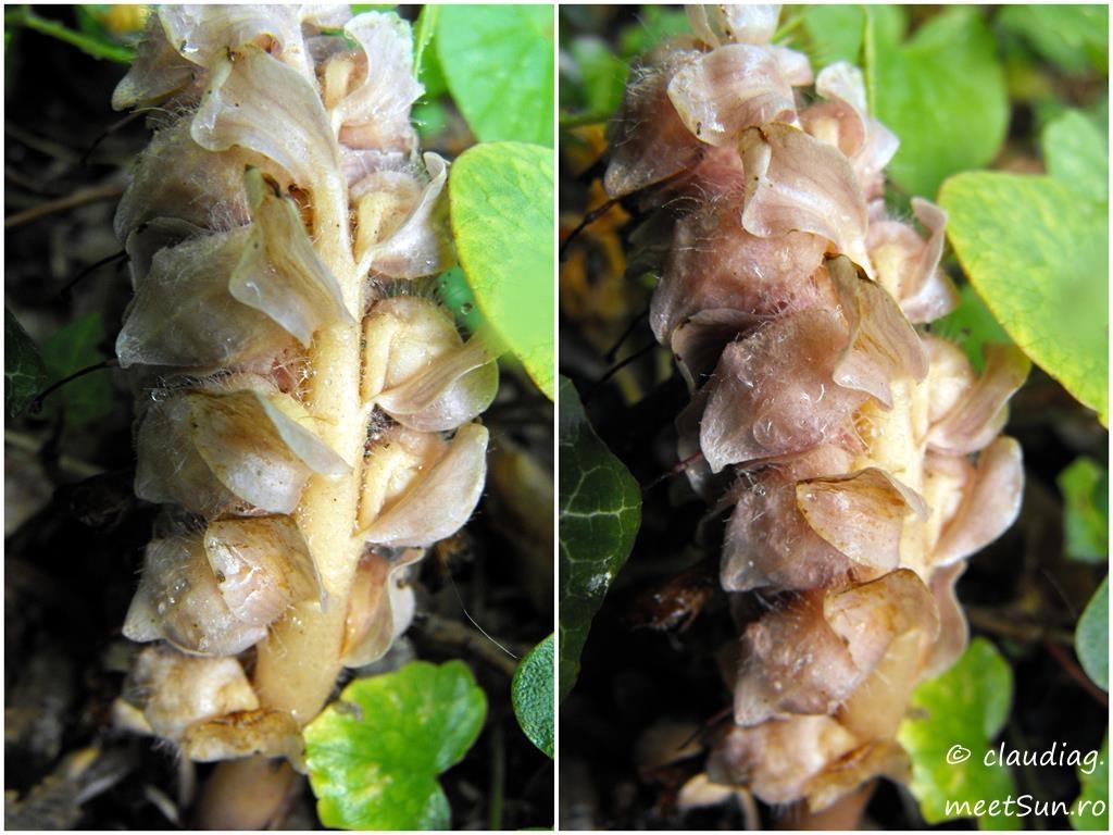 46-flori-maro-cucuruz