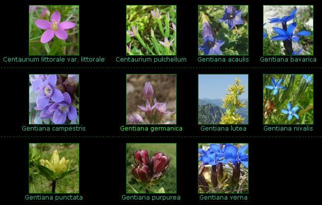 flori de munte. specii de gentiana