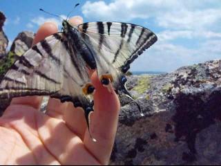 fluture Coada Rândunicii