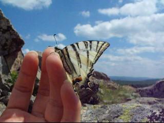 fluture Coada Rândunicii, Iphiclides podalirius